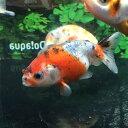 【国産金魚】江戸錦 M(約5cm〜6cm前後)1匹 生体【2点以上5000円以上ご購入で送料無料】