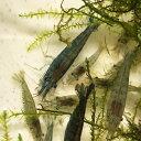【数量限定】ミナミヌマエビ 50匹 エビ 飼育用・餌用にも! 川魚 【2点以上7000円以上