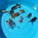 オタマ金魚ミックス 約3cm〜6cm前後 金魚ミックス(10匹)[# 川魚 【2点以上7000円以上