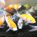 錦鯉MIX 10匹 サイズSS 約6cm〜9cm 紅白 昭和三色 光物 生体 川魚 【2点以上5000円以上ご購入で送料無料】