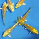 錦鯉 山吹黄金 光物10匹 サイズSS 約8cm〜10cm ニシキゴイ 生体 川魚 【2点以上5000円以上ご購入で送料無料】