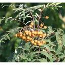 【ラッキーシール対応】果樹の苗/シーベリー(沙棘・サジー):受粉用オス木3〜3.5号ポット