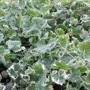 バラの苗/バラに合う宿根草の苗:斑入カキドオシ(グレコマ)3号ポット 1株