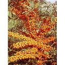 【ラッキーシール対応】果樹の苗/シーベリー(沙棘・サジー):レイコラ(メス木)3〜3.5号ポット