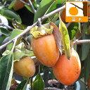 果樹の苗/柿(カキ):筆柿(フデガキ)4〜5号ポット