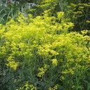 山野草の苗/オミナエシ3号ポット2株セット