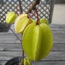 果樹の苗/スターフルーツ(ゴレンシ)5号ポット