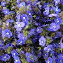 草花の苗/ベロニカ:オックスフォードブルー3〜3.5号ポット2株セット
