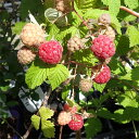【ラッキーシール対応】果樹の苗/トゲなしラズベリー:グレンアンプル3号ポット