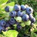 果樹の苗/ブルーベリー:フクベリー4号ポット