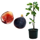 果樹の苗/鉢植え果樹 イチジク:ネグローネ8号鉢植え