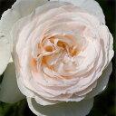 バラの苗/つるバラ:ブラン・ピエール・ド・ロンサール 大苗長尺6号ポット