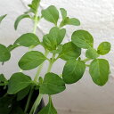 植物の苗 / コンパニオンプランツ:ペニーロイヤルミント3号ポット4株セット