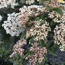 花木 庭木の苗/ビバーナム:ティヌス フレンチホワイト5号ポット