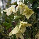 クレマチスの苗/冬咲きクレマチス:オーリカバレー4.5号ポット(シルホサ系)