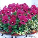 草花の苗/ビオラ ビビ ライトローズウィズブロッチ3〜3.5号ポット8株セット