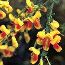 花木庭木の苗/エニシダ:ホホベニ(ほお紅)3〜3.5号ポット