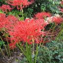草花の苗/ヒガンバナ(彼岸花・リコリス ラジアータ):赤3.5号ポット