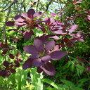 花木 庭木の苗/スモークツリー:ロイヤルパープル4.5号ポット