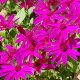 サイネリア:セネッティ豪華咲きレッド5号鉢植え