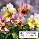 草花の苗/パンジー:ムーランフリルアプリコットミックス3.5号ポット3株セット
