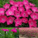 草花の苗/ナデシコ(ダイアンサスカーペット)花はなローズ3号ポット2株セット