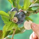 果樹の苗/ブルーベリー:チャンドラー3.5号ポット