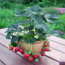 野菜の苗/イチゴ:カレンベリー3〜3.5号ポット3株セット