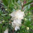 花木 庭木の苗/マートル:ドワーフマートル緑葉3号ポット