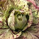 [野菜タネ]チコリ:カステルフランコ(イタリア高級野菜)