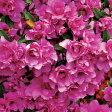 花木 庭木の苗/平戸ツツジ系:千重大紫4号ポット