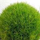 サギナ(アイリッシュモス):ライトグリーン3号ポット 6株セット