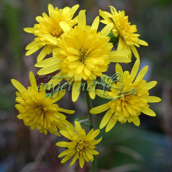 山野草の苗/ツワブキ:八重咲ツワブキ3.5号ポット