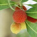 果樹の苗/ヤマモモ(山桃):秀峰(しゅうほう)・オス木セット