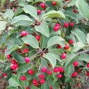 花木 庭木の苗/ソヨゴ雌雄2株セット3〜3.5号ポット[02P03Dec16]