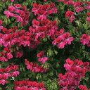 草花の苗/アイビーゼラニウム:pacハッピーフェイスマゼンタ3.5号ポット