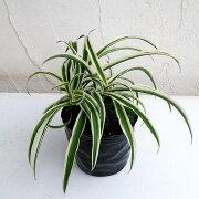 観葉植物/オリヅルラン(外斑)3号ポット苗