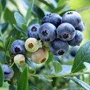 サザンハイブッシュ系 自家結実性の高い人気品種 苗木果樹の苗/ブルーベリー:サンシャインブルー3.5号ポット