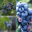 果樹の苗/ブルーベリー:ハイブッシュ系3種受粉樹セット5号苗(デューク・スパルタン・エリザベス)