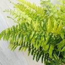 観葉植物/タマシダ:ハッピーマーブル6号鉢入り