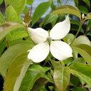 花木 庭木の苗/常緑ヤマボウシ:ホンコンエンシス月光3.5〜4号ポット