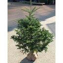 花木 庭木の苗/もみの木(モミノキ):ウラジロモミ 樹高1.2m根巻き
