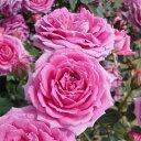 バラの苗/ポットローズ:ミニバラ・オーバーナイトセンセーション4号プラ鉢植え