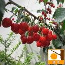 果樹の苗/サクランボ:だんちおうとう(暖地桜桃)接木苗4〜5号ポット