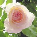つるバラ:ニュードーン新苗