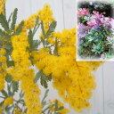 花木 庭木の苗/アカシア:ギンヨウアカシア プルプレア3〜3.5号ポット