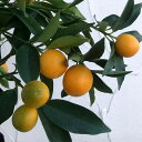 【ラッキーシール対応】果樹の苗/キンカン:ニンポウ金柑4.5号ポット