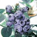 【ラッキーシール対応】果樹の苗/ブルーベリー:ケープフェアー5号ポット