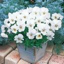 草花の苗/ビオラ:ビビ クリアホワイト3〜3.5号ポット4株セット