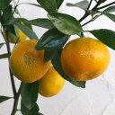 果樹の苗/小みかん4〜5号ポット[12月上〜下旬収穫 お正月飾りに 豊産性で糖度が高い柑橘・かんきつ類苗木]